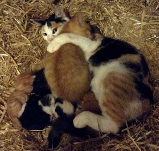 mama-cat-adopts-big-kitten-4