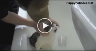 Cat Crying Like A Real Human Baby, While Taking A Bath