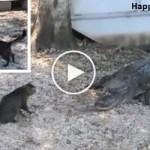 Hero Cat Saves Kid From Two Dangerous Alligators. Incredible VIDEO !