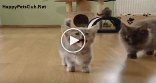 Cutest Munchkin Baby Kitty Talks Too Much. Cuteness Overloaded.