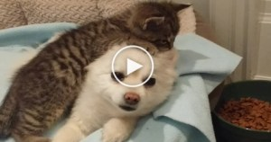Rescued Little Kitty Loves Pomeranian Dog. Heartwarming Story