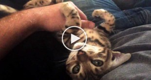 4-Month-Old Bengal Kitten Has The Cutest Conversation With Its Owner