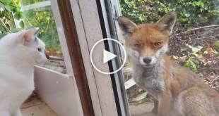 Cats Meet Fox For The First Time. But, The Reaction of The Fox Is Amazing !