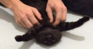 Black Kitten Can`t Hide Happiness When His Belly Is Scratched. Cutest Video Ever !