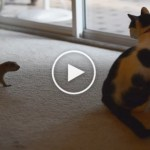 Rescued Prairie Dog Playing With Cat. You Have To See the Cuteness…