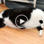 USA`s Fattest cat, Who Weighs 32 Pounds, Requires 2 Humans To Hold Her