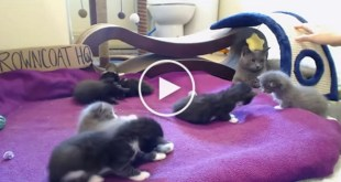Rescued Mom Cat Teaches Her 7 Little Kittens How To Play