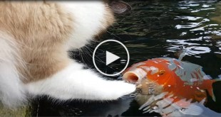 This Cat Has The Cutest Interaction With Koi Fish