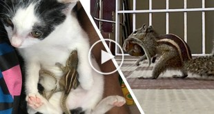 Cat Caring For Rescued Baby Squirrels. Few Days Later They Reunited With Their Mom.