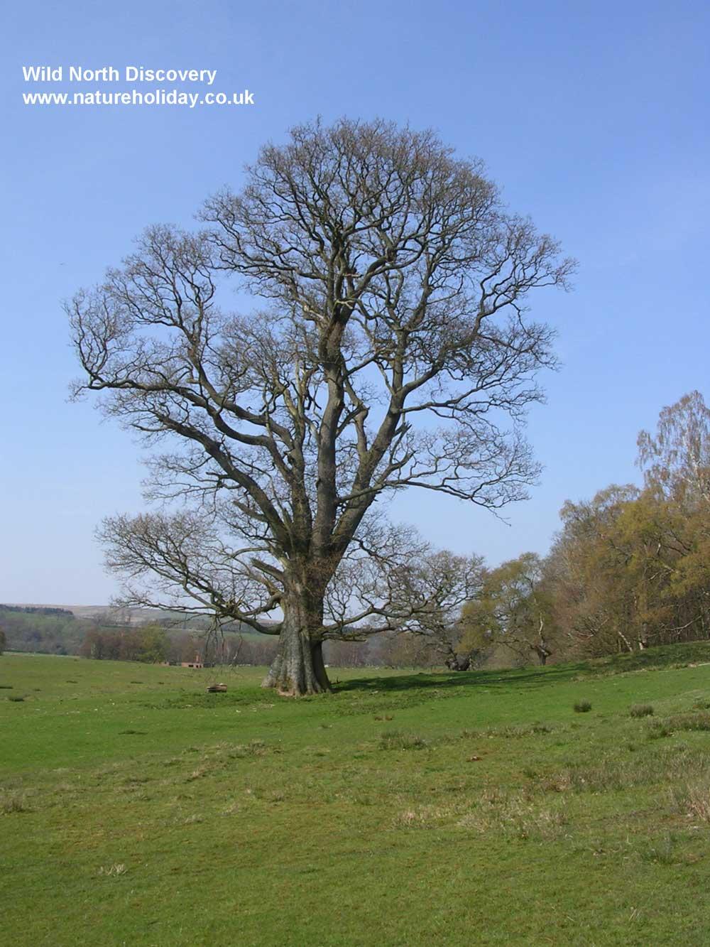 Winter-tree-id
