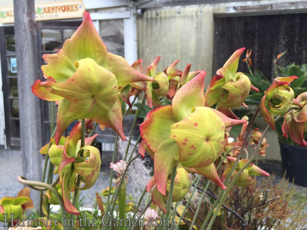 Cool I Know That Venus Fly Traps Grew Just Fine Our Homes Not Requiring Makeshift Terrarium I Had California Carnivores Harmony Garden Carnivorous Plant Terrarium Care Building A Carnivorous Plant Ter houzz-02 Carnivorous Plant Terrarium