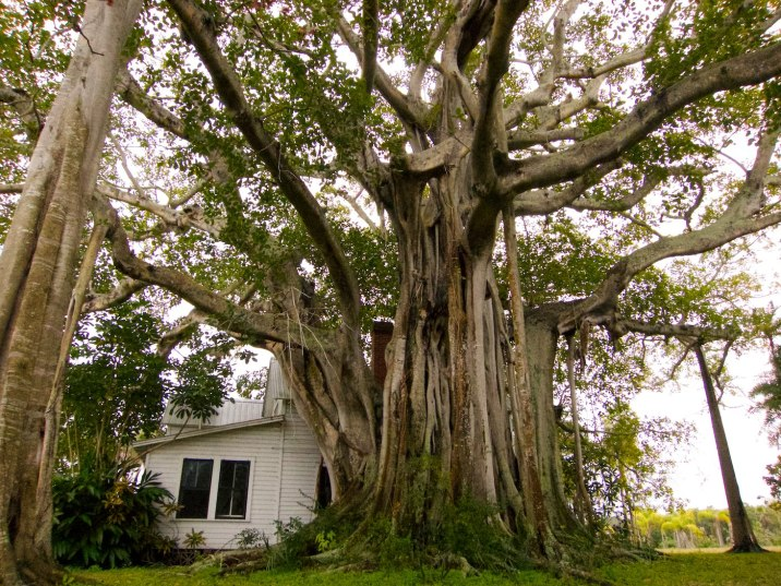 The Underwood banyan tree is close to 100 years old and lives in and around a house just as old on Terra Ceia.