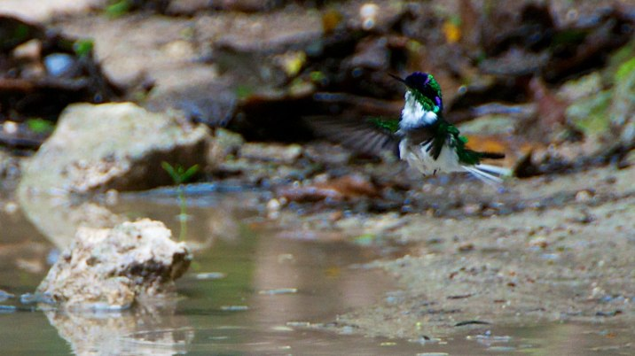 A hummingbird washing in a puddle.