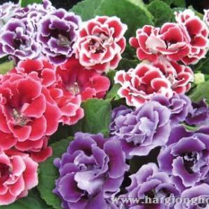 hoa-cam-nhung-gloxinia3