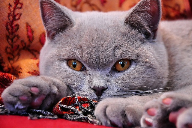 british-shorthair-972579_640