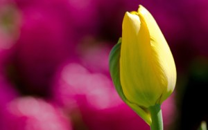 closed-yellow-tulip