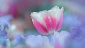 tulip_flower_petals_blurred_background_49666_3840x2160