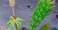 хвощ полевой полезные свойства и противопоказания