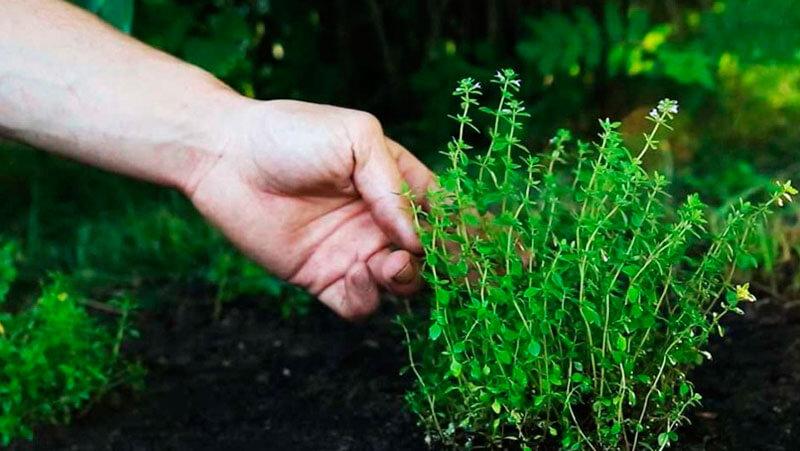 Тимьян выращивание и уход 57