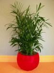 Snake Plant (Sansevieria Trifasciata 'Laurentii')