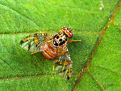 250px-Mediterranean_fruit_fly