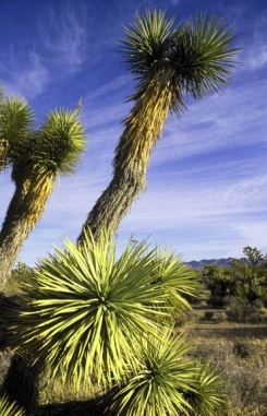 The Joshua tree, a conspicuous inhabitant of the Mojave Desert