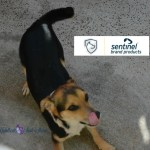 Protecting our Dogs from Heartworms, Fleas and other Parasites with #SentinelSpectrum
