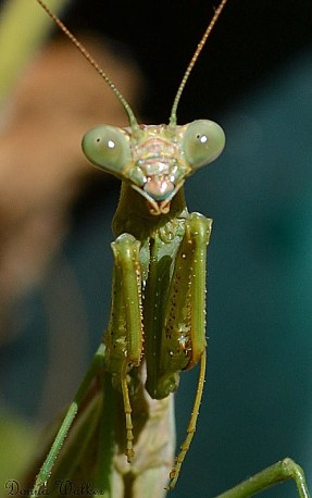 California Praying Mantis