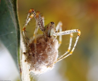 Green Lynx Spider(Peucetia viridans)  with egg sac on a Sycamore tree in Escondido, CA