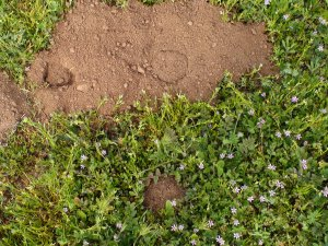 fresh gopher mound and vent holes forming in the grass