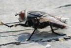 thumb size of flesh fly