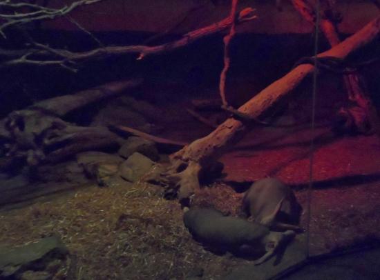 Henry Doorly Zoo & Aquarium Kingdoms of the Night Aardvarks