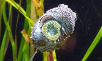 Seattle Aquarium Pacific spiny lumpsucker