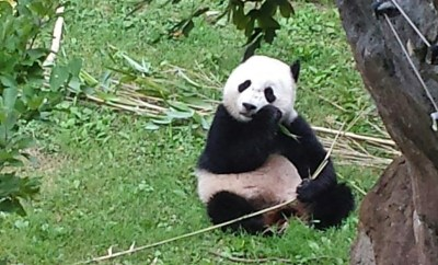 Washington DC Zoo Panda Trail