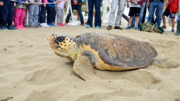 Θαλάσσια χελώνα Caretta caretta. ΑΠΕ-ΜΠΕ/ΕΝΥΔΡΕΙΟ ΚΡΗΤΗΣ/STR