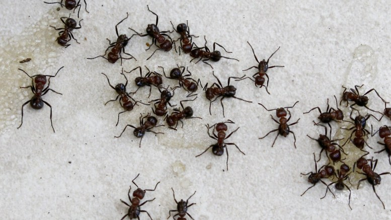 File Photo: Ants feed off sugar left behind by campers at a retreat cottage in Magaliesburg, Johannesburg, South Africa  EPA, KIM LUDBROOK