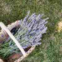 19 Ways to Use Lavender Essential Oil | HelloNatural.co