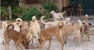 تجمع عدد كبير من الكلاب الضالة أمام أحد المنازل
