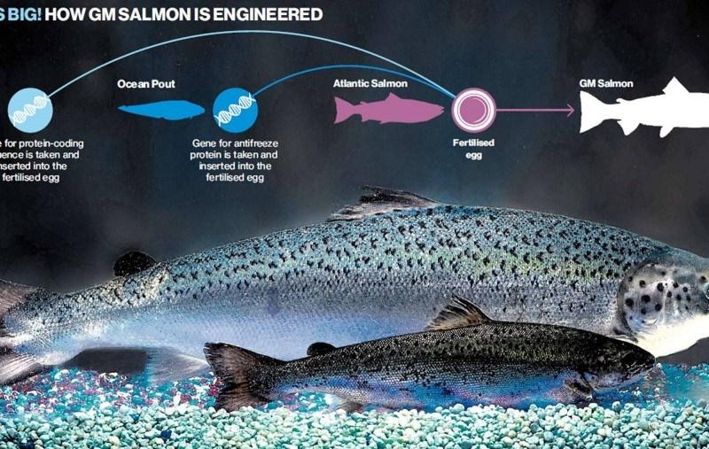 AquAdvantage salmon - Wikipedia