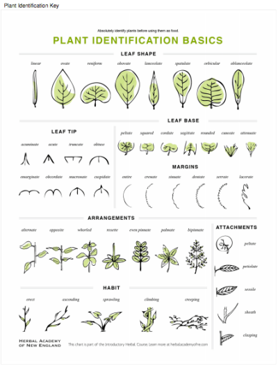 Plant Identification Key available for download in the Introductory Herbal Course