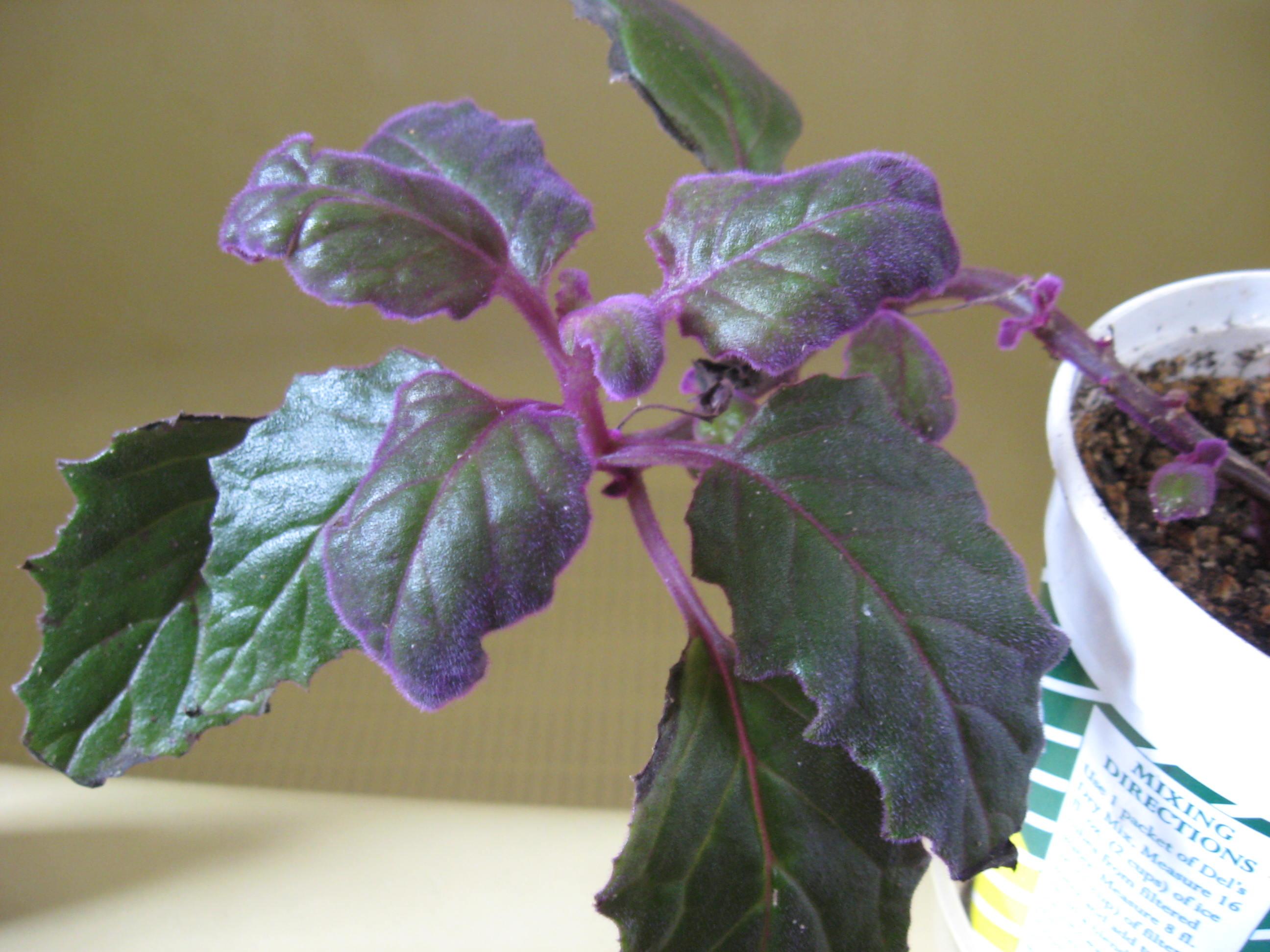 Superb Purple Passion Aphid No Herbaloo Purple Passion Plant Wilting Purple Passion Plant Size houzz-03 Purple Passion Plant