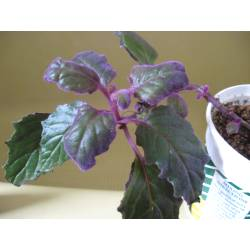 Small Crop Of Purple Passion Plant