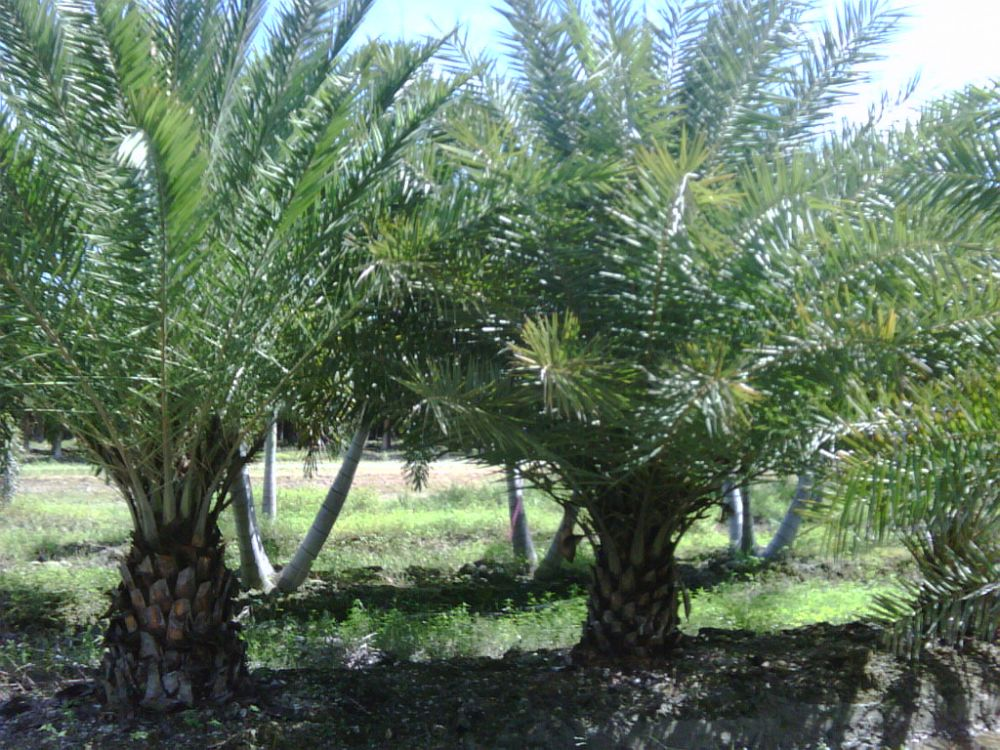 phoenix-sylvestris-sylvester-date-palm-silver-date-palm-wild-date-palm-1000147939-1336500750