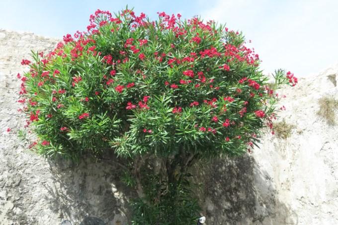 サン・ポール・ド・ヴァンスと植物03