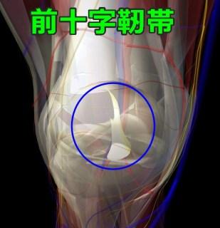 前十字靭帯 解剖