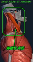胸鎖乳突筋 側面