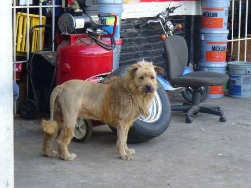 Corte de cabelo extranho em cachorro
