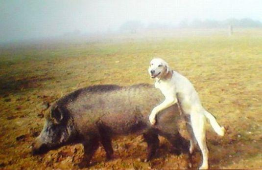 cao e o porco
