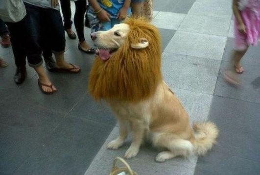 cachorro com pelo tosado em forma de juba de leao