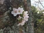 長崎卸団地の季節便り~春~ 桜